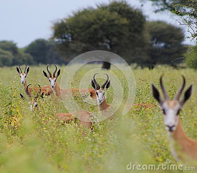 Lined-up stare - Springbuck