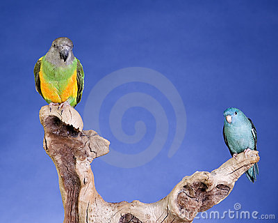 Lineolated Parakeet and Senegal Parrot