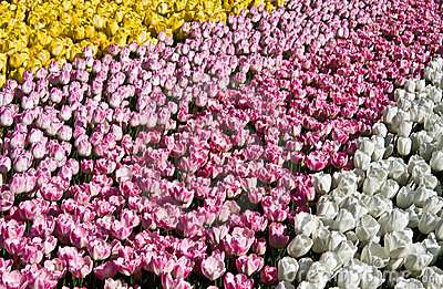 Lines of tulips