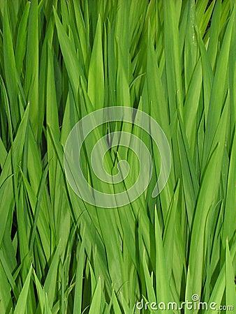 Lingüetas da grama