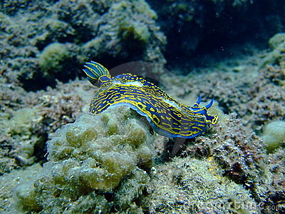 blue sea slug. A lue Sea Slug (mollusc) in
