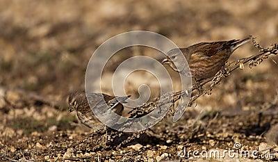 Linnets (Carduelis cannabina)