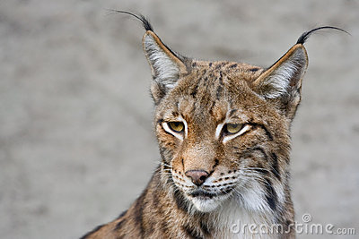 Linx Royalty Free Stock Images - Image: 11166649