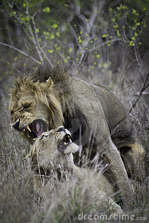 Lion´s couple