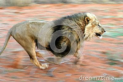 Lion 01 B