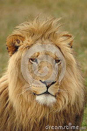 Free Lion Stock Photo - 1138510