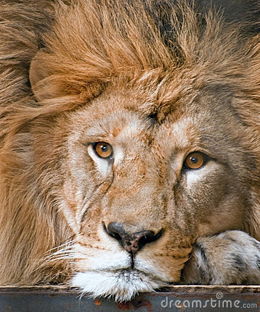 Lion Stock Photos - Image: 12845203