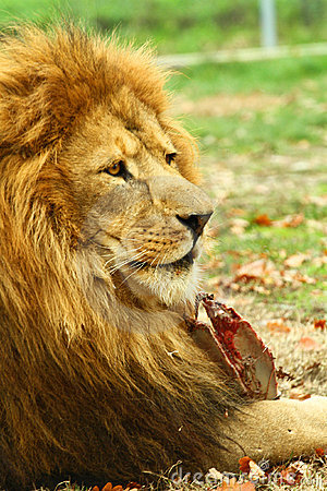 Free Lion Royalty Free Stock Photography - 16990067