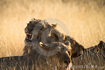 Lion Stock Image - Image: 17928001