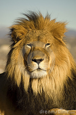 Free Lion 2 Stock Photography - 4211592