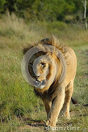 Free Lion Stock Photos - 2285753