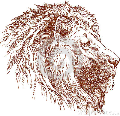 Lion drawing side view lion royalty free stock images
