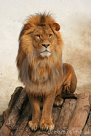 Free Lion Royalty Free Stock Photography - 3196497