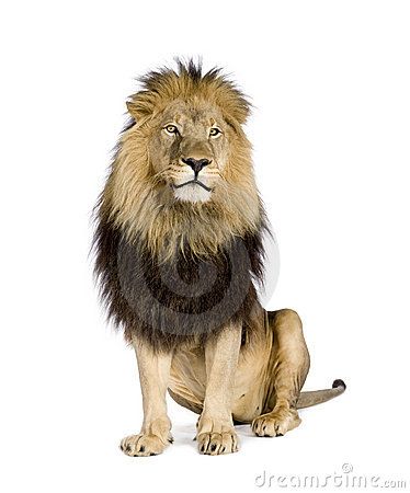Free Lion (4 And A Half Years) - Panthera Leo Stock Image - 6004271