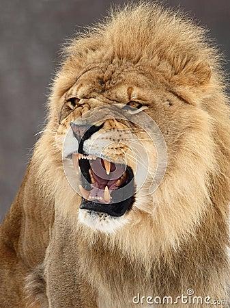 Free Lion Royalty Free Stock Photos - 4509738