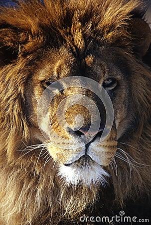 Free Lion Stock Photos - 4730243