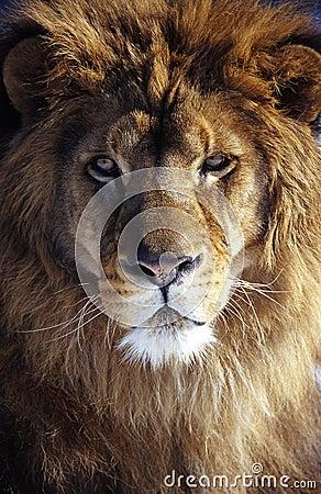 Free Lion Royalty Free Stock Photos - 5246808