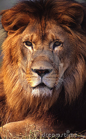 Free Lion Royalty Free Stock Images - 5246879