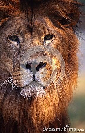 Free Lion Royalty Free Stock Photo - 5319355