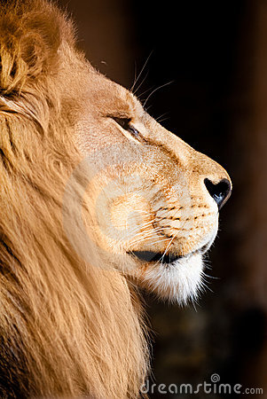 Free Lion Stock Images - 7488544