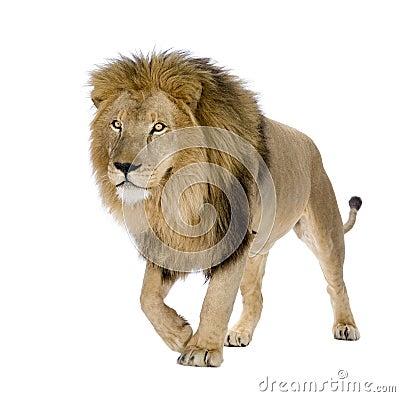 Free Lion (8 Years) - Panthera Leo Royalty Free Stock Image - 6004046