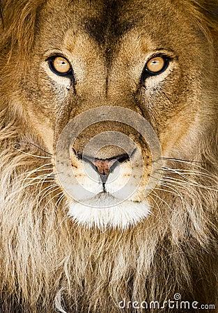 Free Lion Stock Photo - 9310830