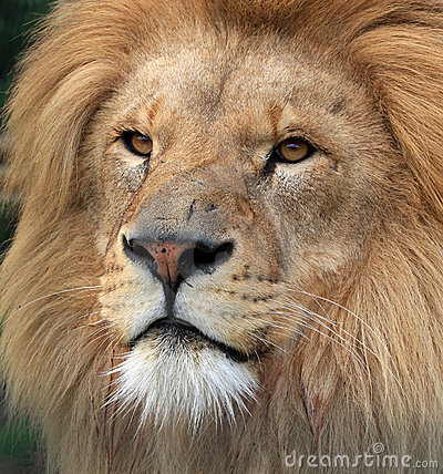 Free Lion Royalty Free Stock Image - 9710946
