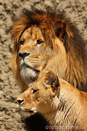 Free Lion And Lioness Royalty Free Stock Photos - 5726488
