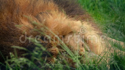 Lion Asleep In Long Grass-Close-up stock footage