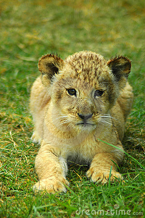 Free Lion Baby Stock Images - 1870044