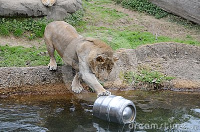 Lion and a beer keg2