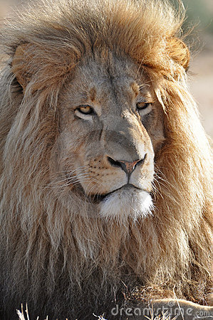 Lion with big mane
