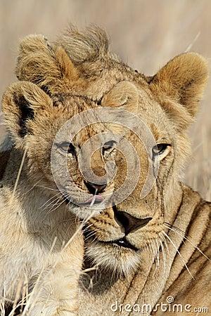Lion bigbrother babysitting cub, Serengeti
