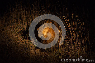 Lion in the bush at night