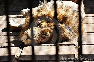 A lion in the cage
