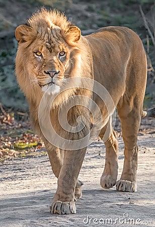 Free Lion Closeup Royalty Free Stock Photos - 85714218