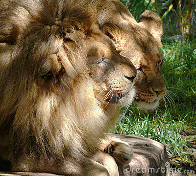 Lion couple courting