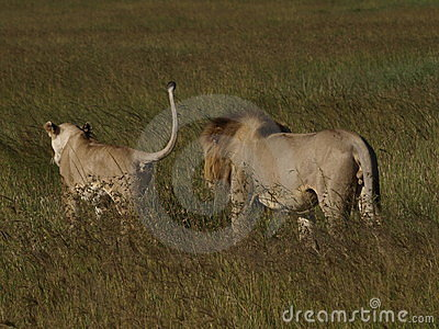 Lion courtship