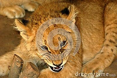Lion Cub 02