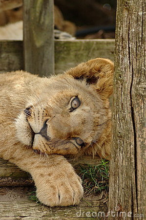 Free Lion Cub Stock Photography - 1138542