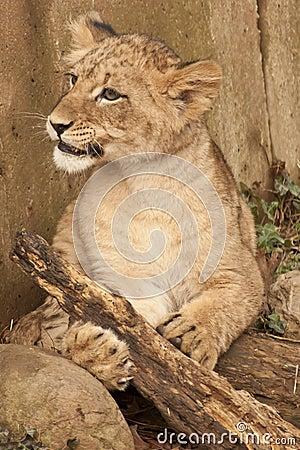 Free Lion Cub Royalty Free Stock Photos - 17991118