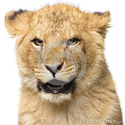 Free Lion Cub Royalty Free Stock Photo - 2321385