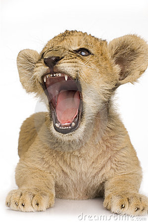 Free Lion Cub (3 Months) Royalty Free Stock Photos - 3346738