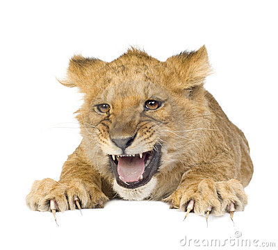 Free Lion Cub (5 Months) Royalty Free Stock Photo - 4025355