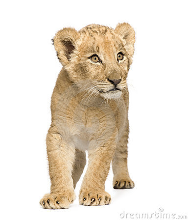 Free Lion Cub (8 Weeks) Stock Photo - 6608050