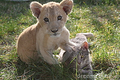 Lion Cub With Cat Royalty Free Stock Image - Image: 22002486