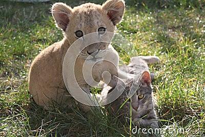 lion cub with cat