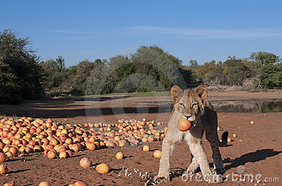 Lion cub with grapefruit in Africa