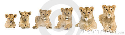 Lion cub growing from 3 to 9 months in front of a