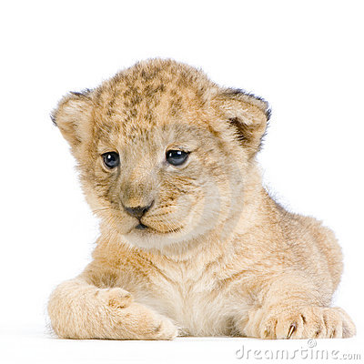 Lion Cub Lying Down Stock Photos - Image: 2320443